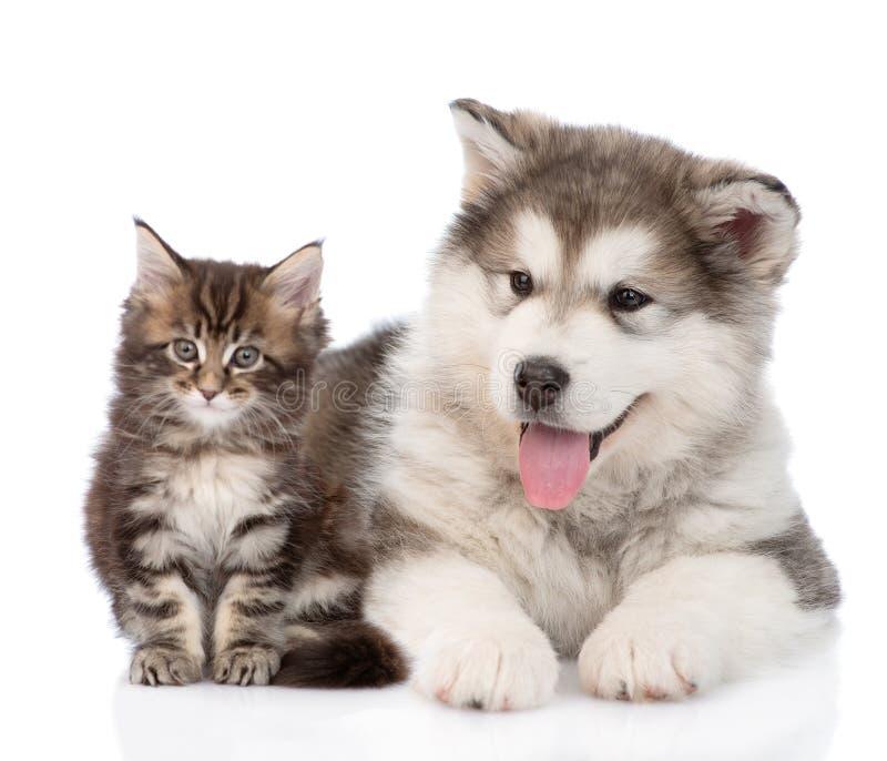 阿拉斯加的爱斯基摩狗一起狗和缅因树狸猫 查出 免版税库存照片