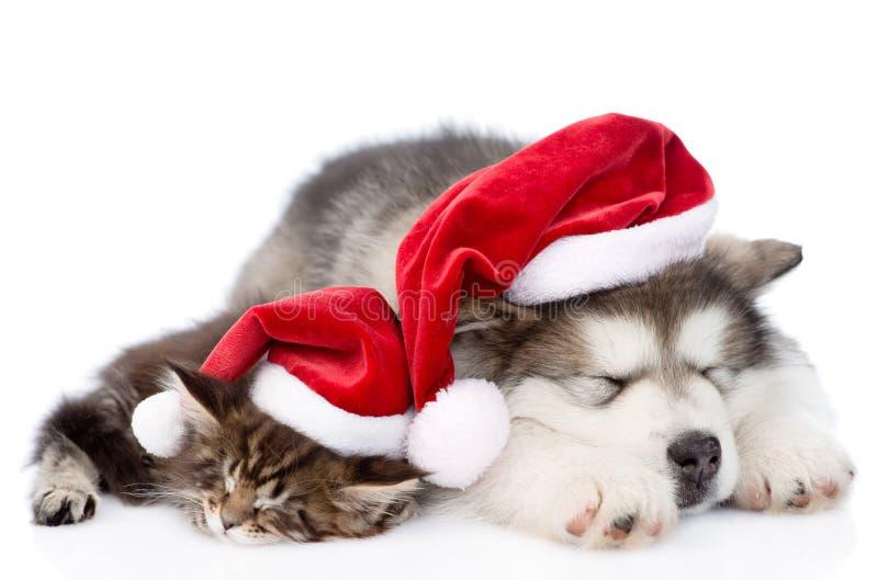 阿拉斯加的爱斯基摩狗与红色圣诞老人帽子的小狗和缅因浣熊小猫 查出在白色 免版税库存照片