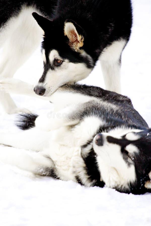 阿拉斯加的爱斯基摩狗使用 免版税库存照片