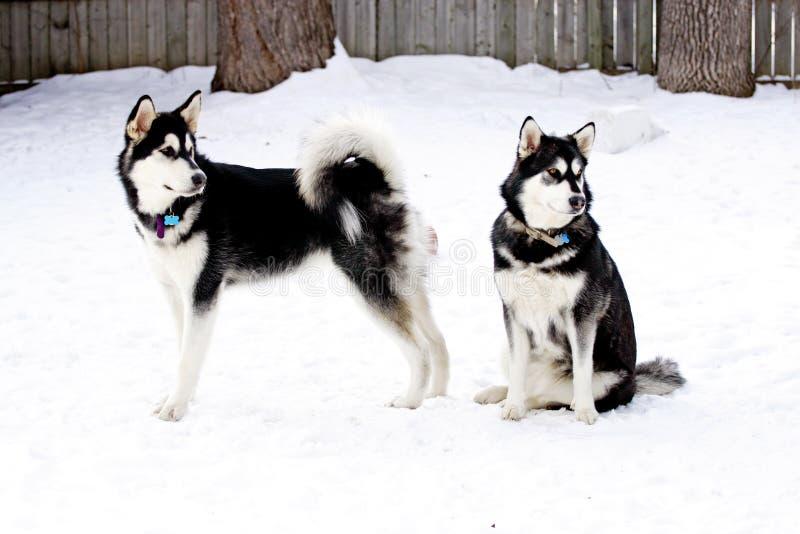 阿拉斯加的爱斯基摩狗姐妹 库存照片