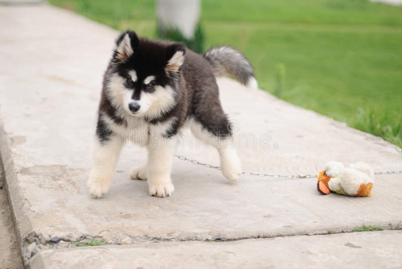 阿拉斯加的爱斯基摩狗小狗 库存照片