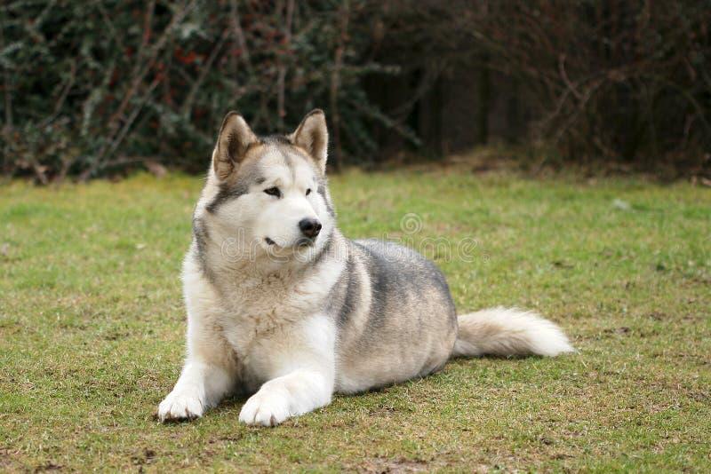 阿拉斯加的爱斯基摩狗 图库摄影