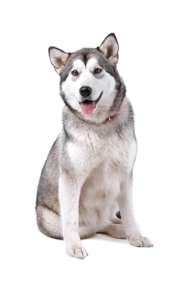 阿拉斯加的狗爱斯基摩狗 库存照片