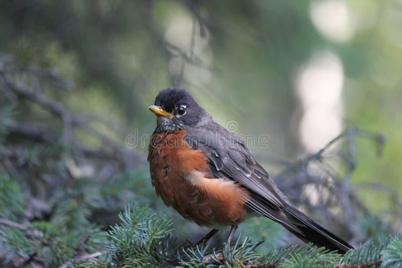 阿拉斯加的知更鸟结构树 免版税库存照片