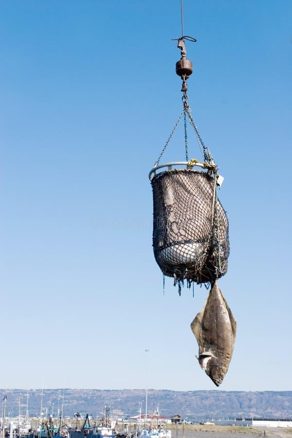 阿拉斯加的被捉住的新鲜的大比目鱼 库存照片