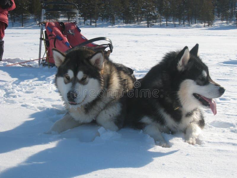 阿拉斯加的设备爱斯基摩狗 库存照片