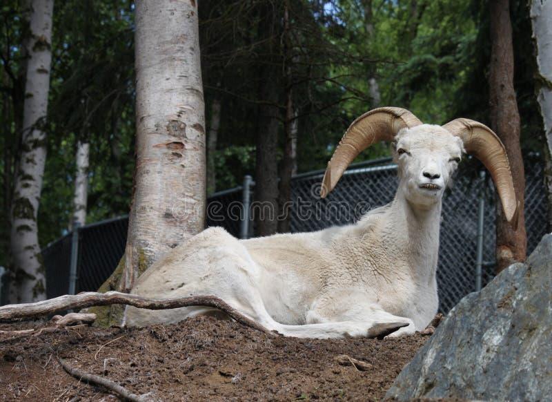 阿拉斯加的野绵羊 库存图片