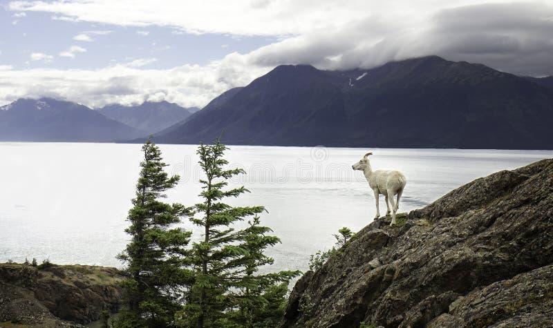 阿拉斯加的Dall母羊 免版税库存图片