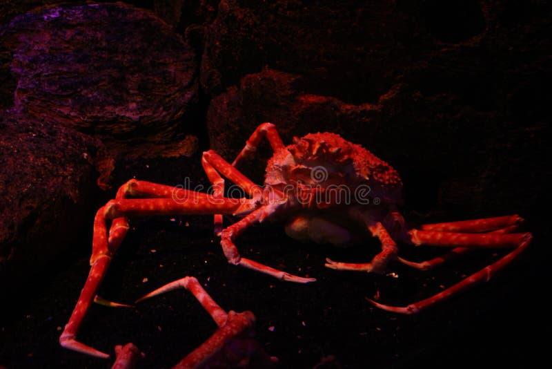 阿拉斯加螃蟹 免版税库存照片
