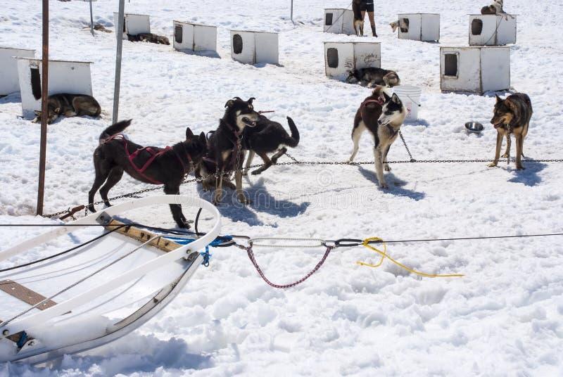 阿拉斯加-在Musher阵营的多壳的狗 免版税库存图片