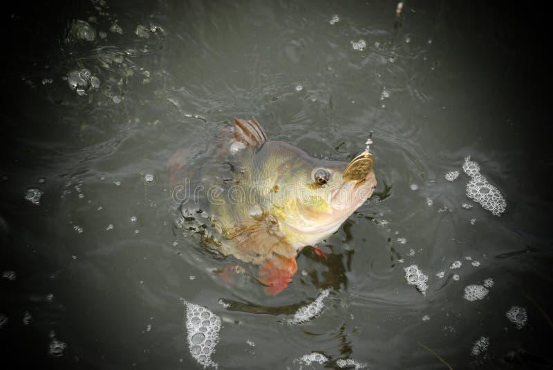 阿斯特拉罕俄罗斯冬天渔低音淡水 免版税库存照片