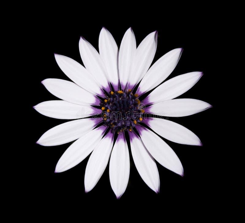 阿斯蒂中心雏菊osteospermum紫色白色 库存照片