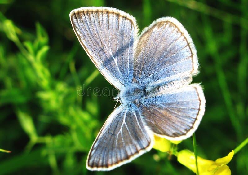 阿曼达蓝色蝴蝶 免版税库存照片