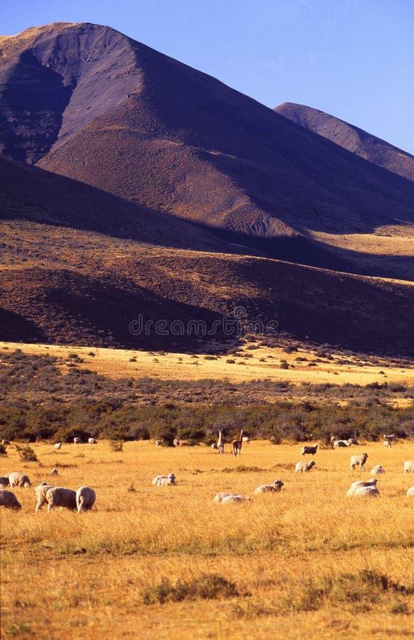 阿根廷:在巴塔哥尼亚的绵羊在Calafate附近 库存照片
