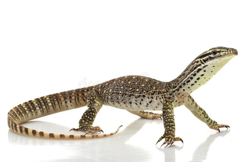阿格斯蜥蜴监控程序 免版税库存照片