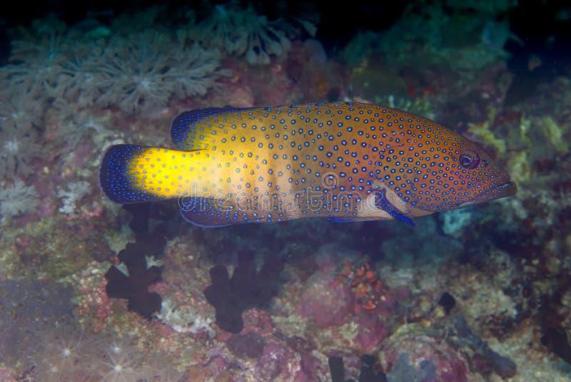 阿格斯cephalopholis石斑鱼孔雀 库存图片