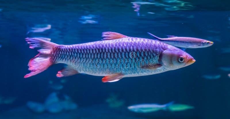 阿波罗鲨鱼鲤科小鱼的特写镜头在水中,从亚洲的热带鱼 免版税库存照片