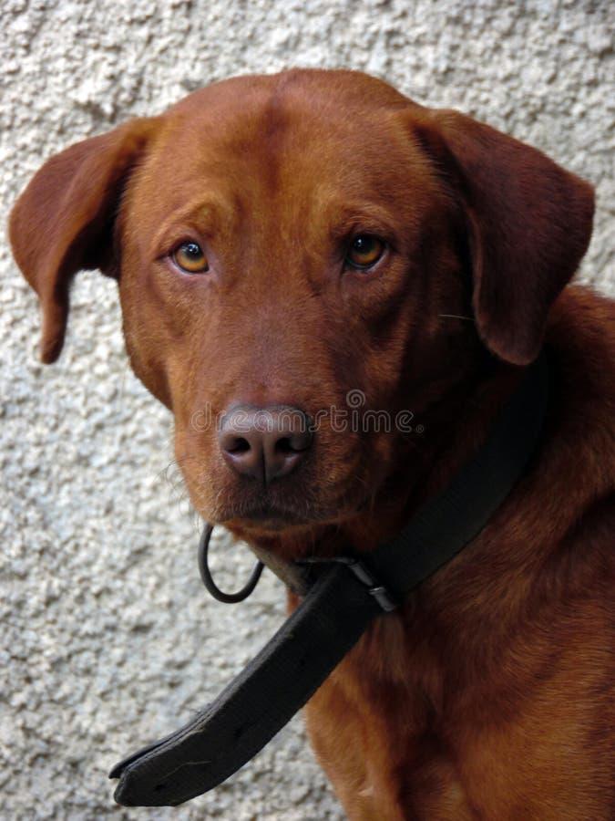 阿波罗,狗 免版税库存图片