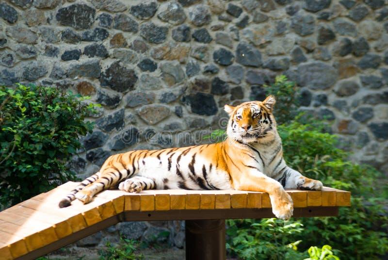 阿穆尔河老虎说谎休息和取暖在阳光下 免版税图库摄影