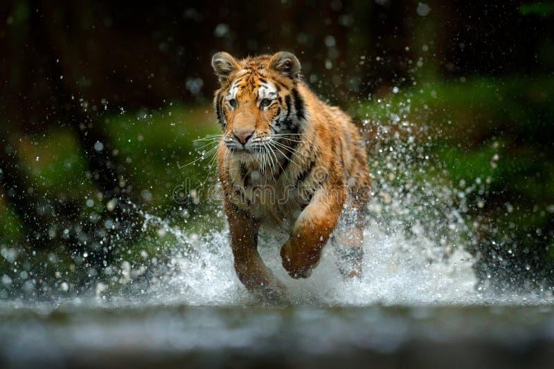 阿穆尔虎在水中玩耍,西伯利亚 危险动物,塔吉加,俄罗斯 绿林溪中的动物 虎斑 库存图片