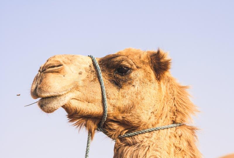 阿联酋阿布扎比利瓦绿洲骆驼肖像 免版税图库摄影