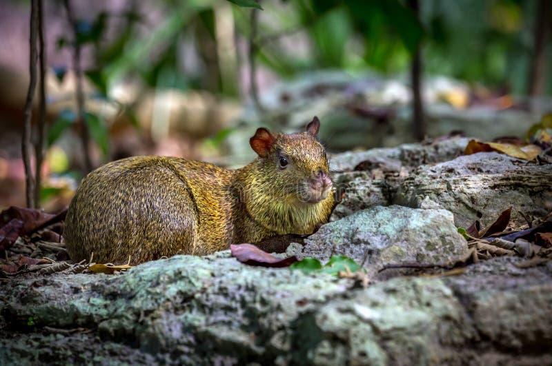 阿萨拉的刺豚鼠啮齿目动物 免版税图库摄影