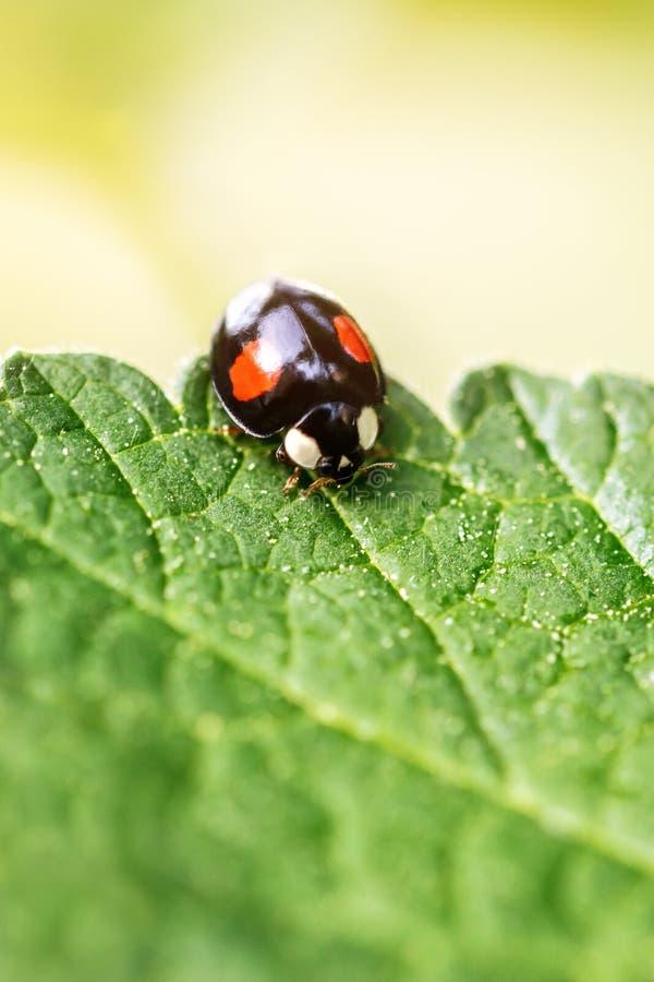 阿达利亚bipunctata,在一片绿色叶子的黑两斑点瓢虫,很少和有用地臭虫 免版税库存照片