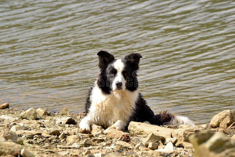 阿里埃勒博德牧羊犬 免版税库存照片