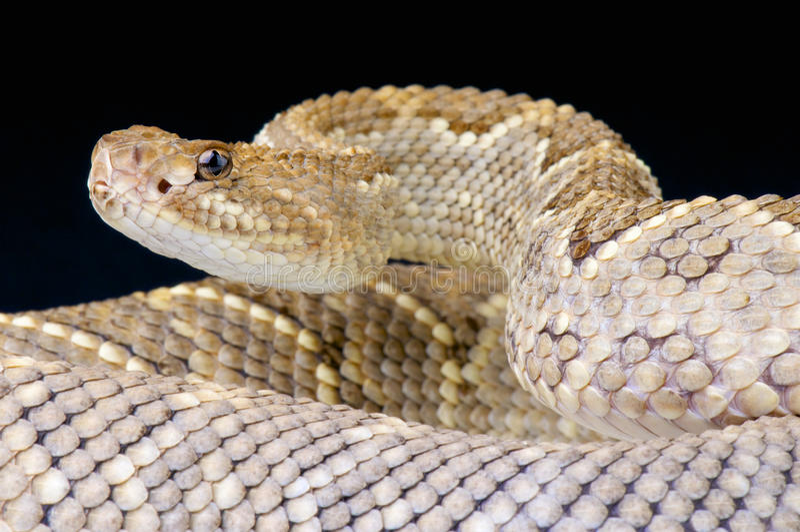 阿鲁巴响尾蛇/单色响尾蛇的durissus 库存照片