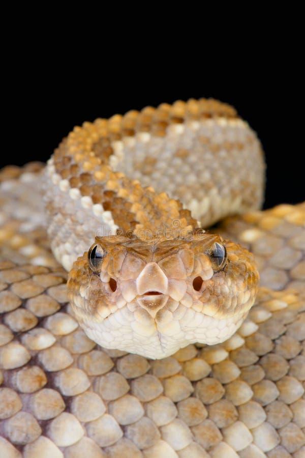 阿鲁巴响尾蛇/单色响尾蛇的durissus 免版税库存照片