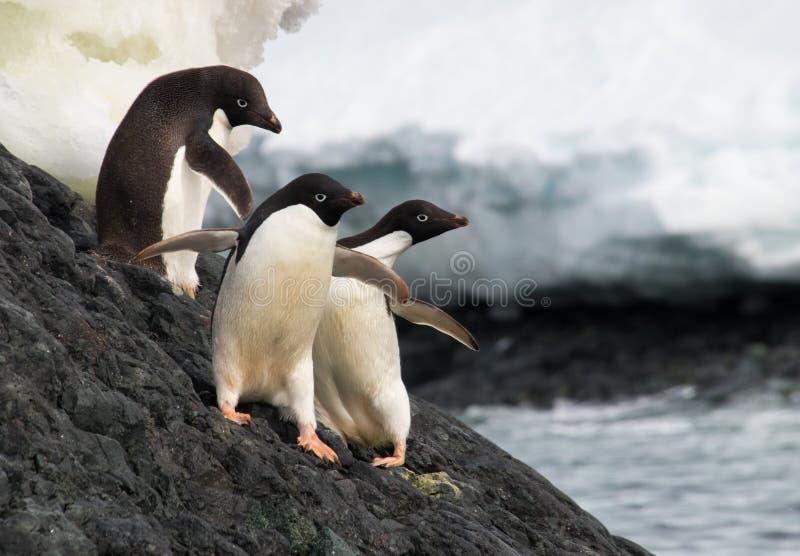 阿黛尔企鹅在南极洲 图库摄影