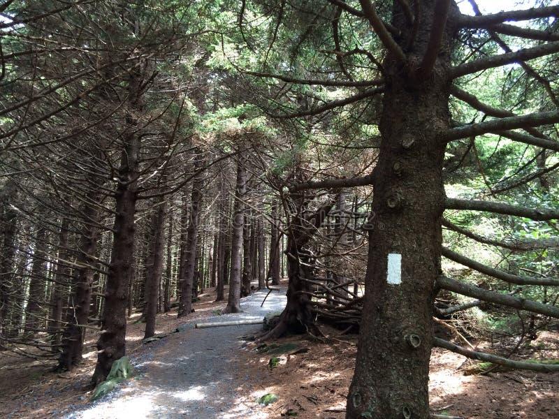 阿巴拉契亚足迹的杉树森林 免版税库存照片