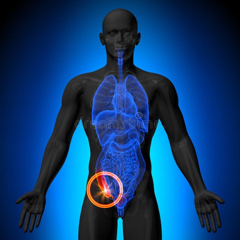 附录-人体器官男性解剖学- X-射线视图 库存例证