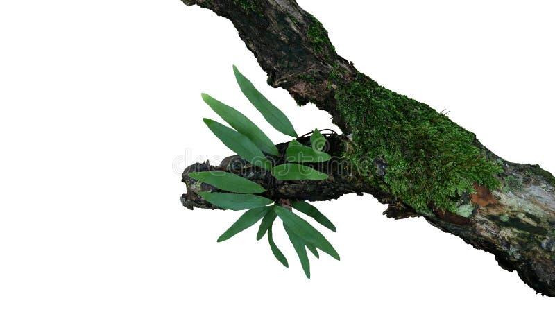 附生植物绿色叶子蕨和青苔在在白色bacground隔绝的热带雨林的老被风化的密林树枝增长 图库摄影