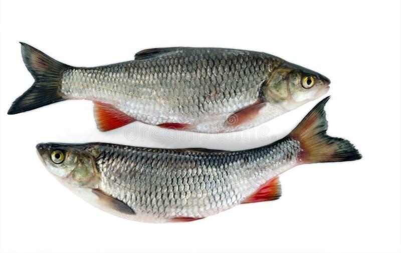 附近两个淡水鳔形鱼谎言 背景查出的白色 一条共同的淡水鱼 免版税库存照片