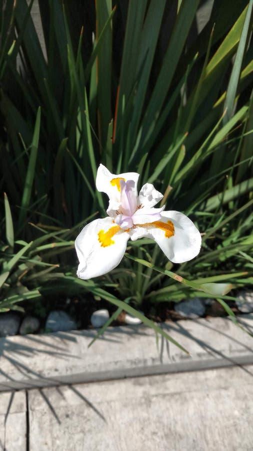 附近白色和偏僻的花开花 库存图片