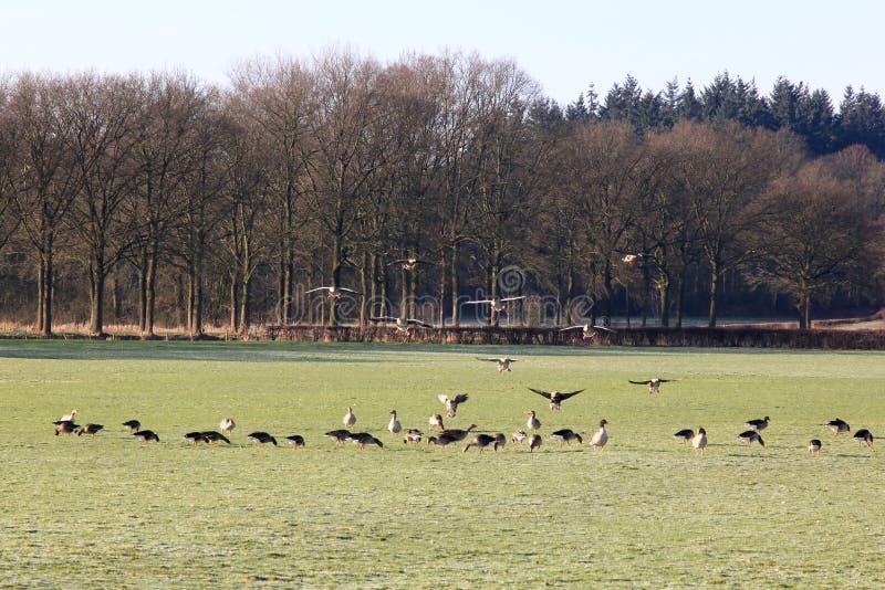 登陆和搜寻鹅在荷兰草甸 免版税库存照片