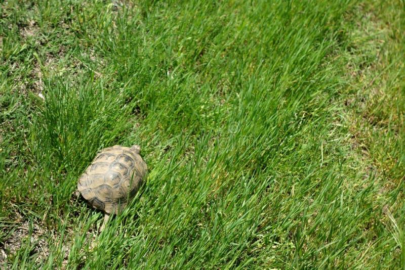 陆龟graeca -乌龟 库存图片
