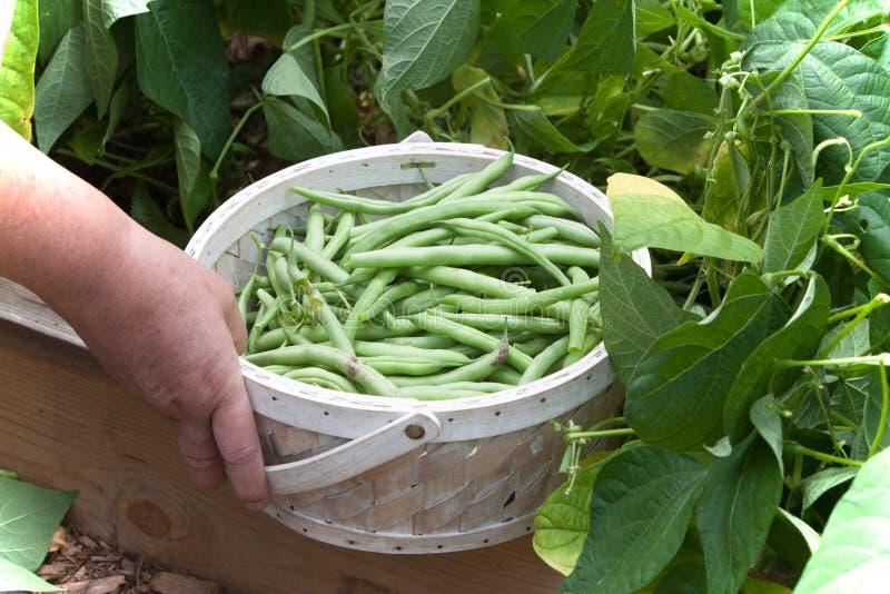 陈列在篮子的被采摘的青豆 免版税库存照片