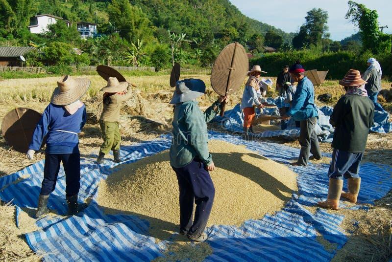 陈小山部落收获米的人们在清迈,泰国 免版税库存照片