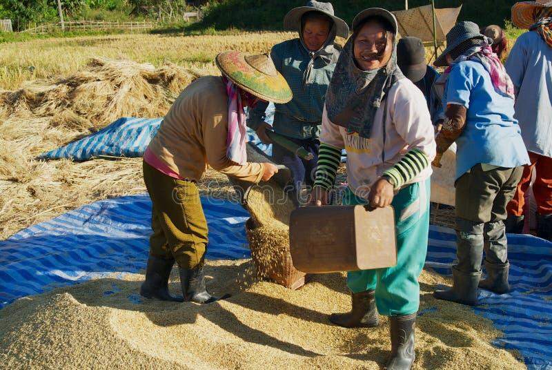 陈小山部落的人们在清迈,泰国收获米 免版税库存照片