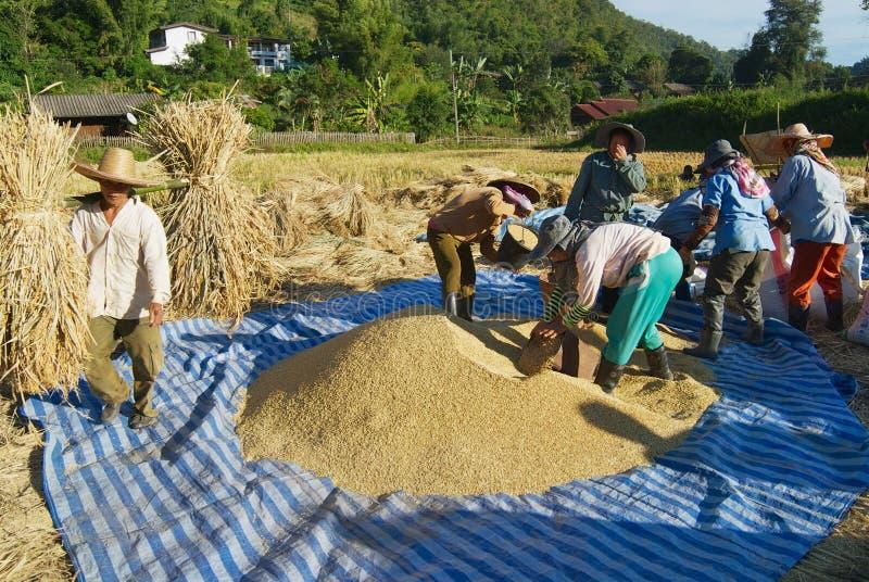 陈小山部落的人们在清迈,泰国收获米 库存照片