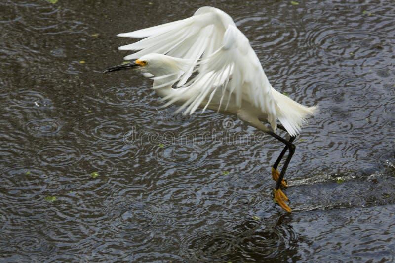 降低与在它的票据的一条鱼的白鹭 免版税图库摄影