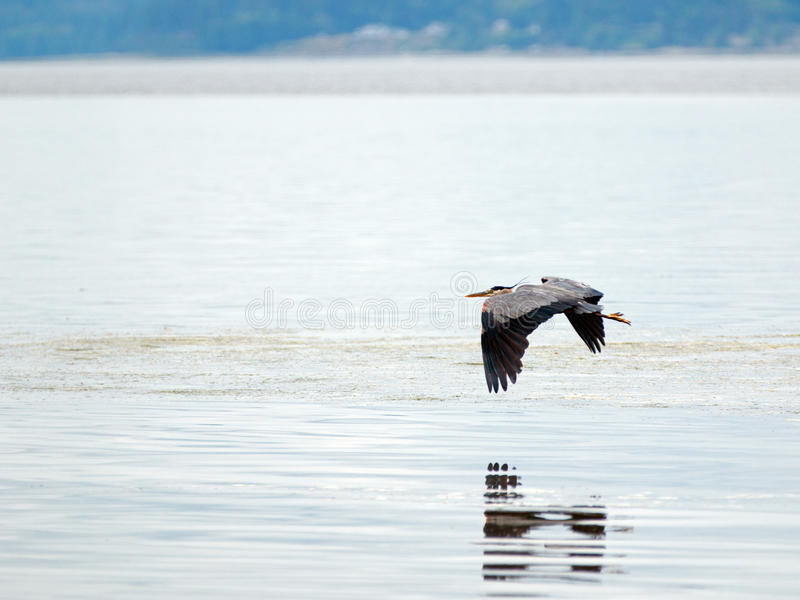 降低在潮汐水的苍鹭在皮吉特湾的关键半岛的Joemma海滩在塔科马华盛顿附近 库存图片
