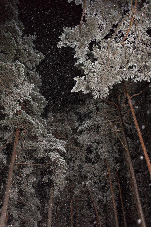降雪在夜杉木森林里 库存照片