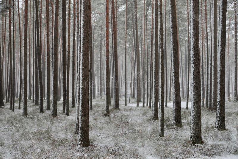 降雪在杉木森林里 免版税库存图片