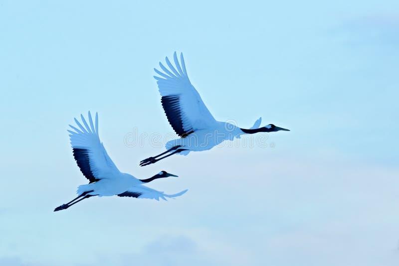 降雪在雪草甸红加冠了起重机,有雪风暴的,北海道,日本 在飞行,与雪花的冬天场面的鸟 雪舞蹈 免版税库存图片