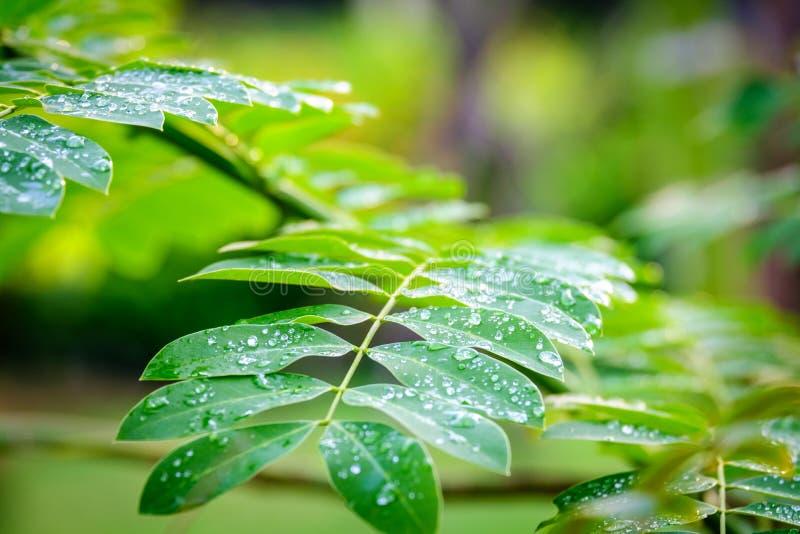 降露在绿色叶子的小滴,在雨绿色叶子以后的水下落 免版税库存照片
