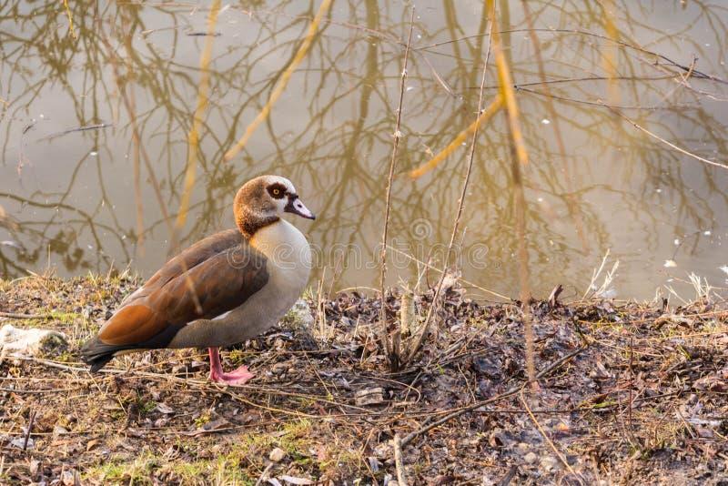 除湖水以外的鸭子在树下 免版税库存照片
