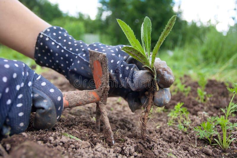 除草在菜园里的手 图库摄影